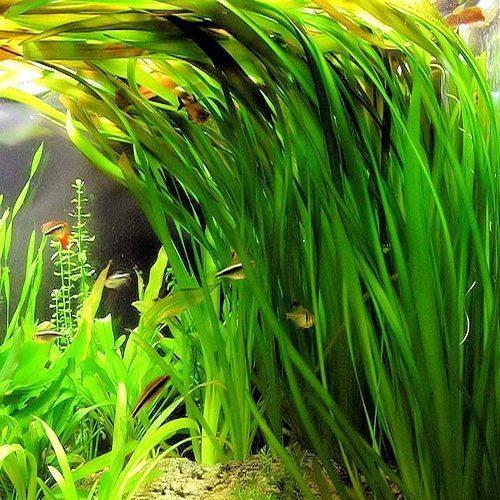 Vallisneria americana Aquarium Plant