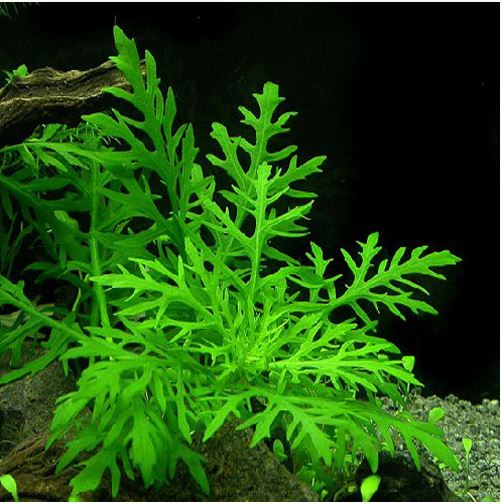 Water Wisteria in a Planted Tank