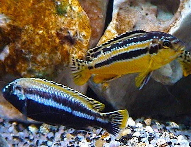 Yellow Auratus Rock Dwelling Mbuna Cichlid