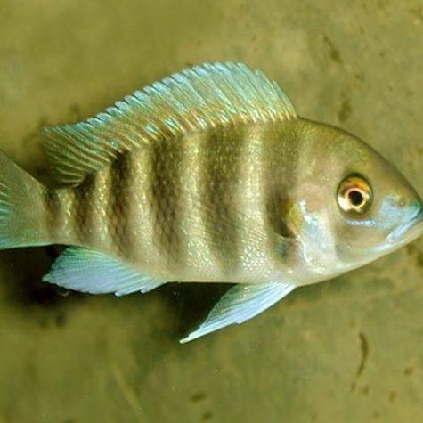 Yellow Bangwe Frontosa