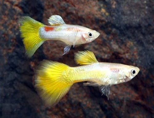 Yellow Micariff Guppy Males