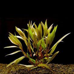 Bunched Aquarium Plants