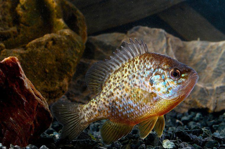 Gamefish for Ponds, Lakes & Aquaponics
