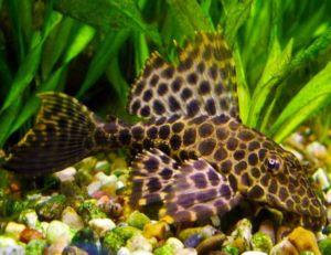 "Sailfin Pleco 4"" Black Gibbiceps Algae Fish"