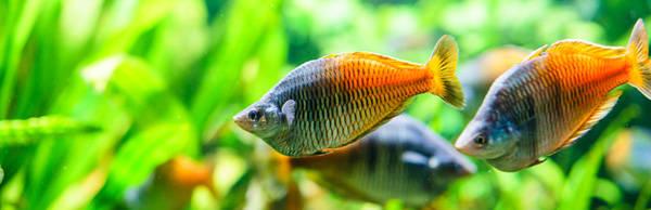 rainbowfish aquarium fish archives arizona aquatic gardens