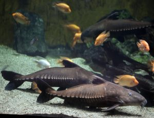 Ripsaw Catfish or Turushuki Blue Catfish