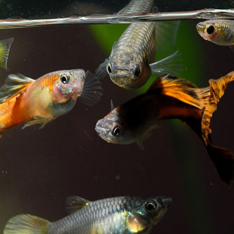 Natural mosquito control mosquitofish and gambusia for Pond stocking fish for sale