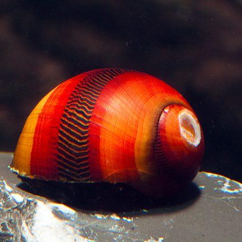 Freshwater Aquatic Snails