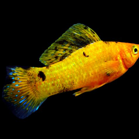 Livebearers - Mollies or Molly